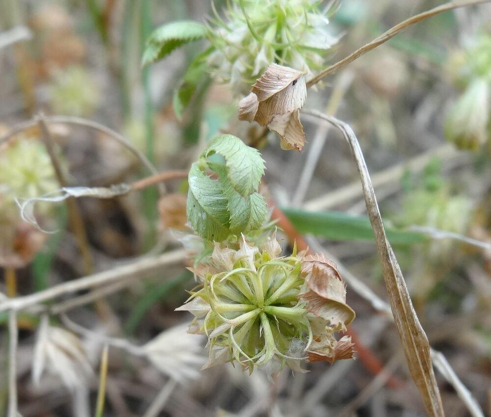 http://e-flore-puydedome.herbiers.uca.fr/files/flore/fichiers-supp/2356_Trifolium_retusum_(Fabaceae)3.jpg
